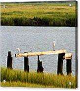 Egrets In The Salt Marsh Acrylic Print