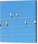 Egrets On A Wire Acrylic Print
