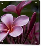 Eia Ku'u Lei Aloha Kula - Pua Melia - Pink Tropical Plumeria Maui Hawaii Acrylic Print