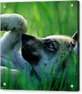 Eight-week-old Captive Gray Wolf, Canis Acrylic Print