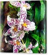 Elegant Beallara Orchid Acrylic Print