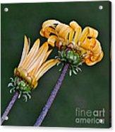 Elegant Daisies Acrylic Print