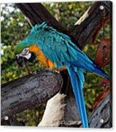 Elegant Parrot Acrylic Print