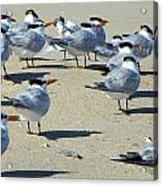 Elegant Terns Enjoying The Beach Acrylic Print