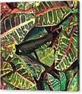 Elena's Crotons Acrylic Print