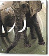 Elephant Awake Acrylic Print