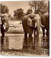 Elephant Bulls At Khwai River Acrylic Print