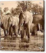 Elephant Family At Khwai Acrylic Print