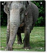 Elephant Greet Acrylic Print