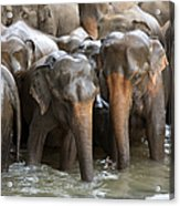Elephant Herd In River Acrylic Print