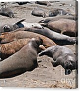 Elephant Seal Colony On Big Sur  Acrylic Print