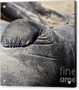 Elephant Seal Fin Nails . 7d16083 Acrylic Print