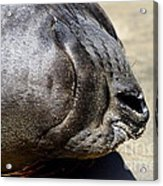 Elephant Seal Snout . 7d16085 Acrylic Print by Wingsdomain Art and Photography