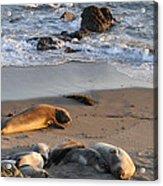 Elephant Seals At Piedras Blancas Acrylic Print