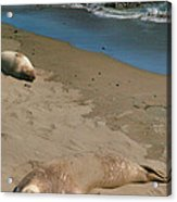 Elephant Seals Molting Acrylic Print by Steven Ainsworth