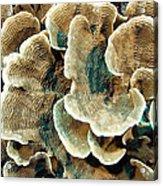 Elephant Skin Coral (pachyseris Sp.) Acrylic Print by Matthew Oldfield