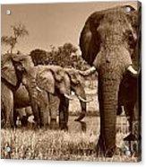 Elephants At Khwai River Acrylic Print