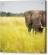 Elephants Of Botswana Acrylic Print