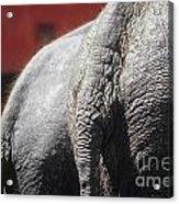 Elephants Rear Acrylic Print
