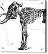 Elephas, Extant Cenozoic Mammal Acrylic Print