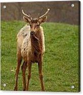 Elk 1 Acrylic Print