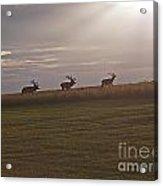 Elk 1. Acrylic Print