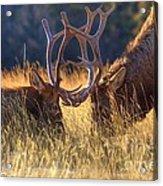 Elk 2 Elk Acrylic Print