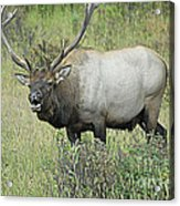 Elk Bugle Acrylic Print by Barry Shaffer
