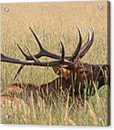 Elk Bugle Acrylic Print