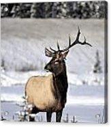 Elk Cervus Canadensis Bull Elk During Acrylic Print
