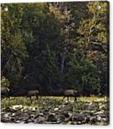 Elk Herd Crossing Buffalo National River Acrylic Print