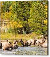 Elk Herd With Autumn Colors Acrylic Print
