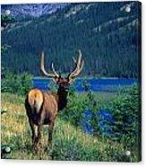Elk In Summer By Mountain Lake Acrylic Print