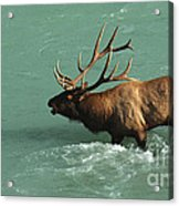 Elk In The Athabasca River Acrylic Print