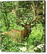 Elk In The Forest   Acrylic Print by Glenn Lawrence