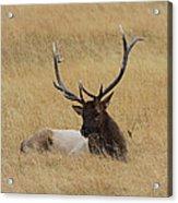 Elk In The Meadow Acrylic Print