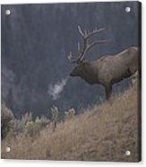 Elk Or Wapiti Bull On A Hillside Acrylic Print by Raymond Gehman