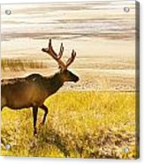 Elk Wanders On Yellow Landscape Acrylic Print