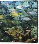 Elkhorn Coral With Schooling Grunts Acrylic Print