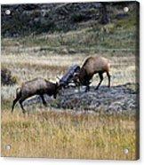 Elks Rutting Acrylic Print