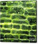 Elodea Leaf Acrylic Print