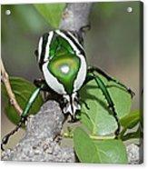 Emerald Fruit Chafer Beetle Acrylic Print