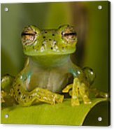 Emerald Glass Frog Centrolene Acrylic Print