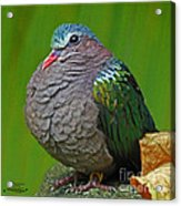 Emerald Ground Dove Acrylic Print