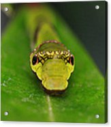 Emerald Swallowtail Caterpillar Acrylic Print