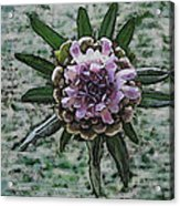 Emerging Pincushin Acrylic Print