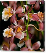 Emma's Orchid Acrylic Print
