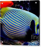 Emperor Angelfish Acrylic Print