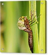 Emperor Dragonfly Metamorphosis Acrylic Print