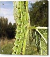 Emperor Moth Caterpillar Acrylic Print